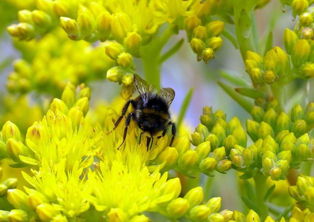 Selectieve focus van een hommel die zich voedt met gele sedum rupestre-bloem