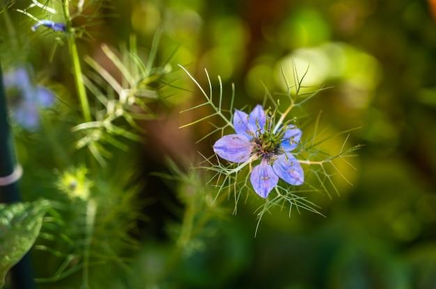 Selectieve focus van een love-in-a-mist-bloem omgeven door groen in een veld onder het zonlicht