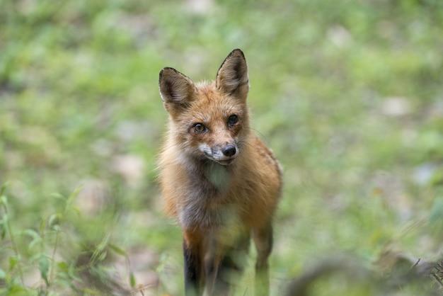 Selectieve focus van een snelle vos omgeven door groen onder het zonlicht