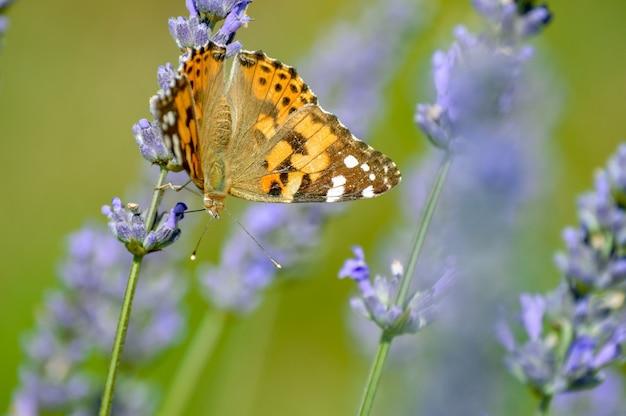 Selectieve focus van een vlinder op de bloeiende paarse bloemen