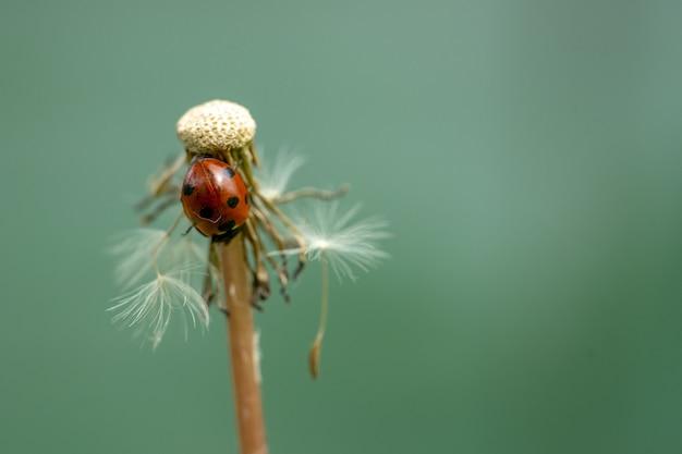 Selectieve focus van het lieveheersbeestje op de paardenbloem