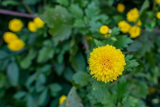 Selectieve focus van kleine gele chrysantenbloemen die in de tuin groeien