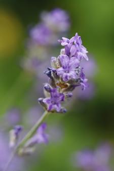 Selectieve focus van lavendel in een veld onder het zonlicht
