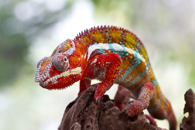 Selectieve focus van phanter chameleon