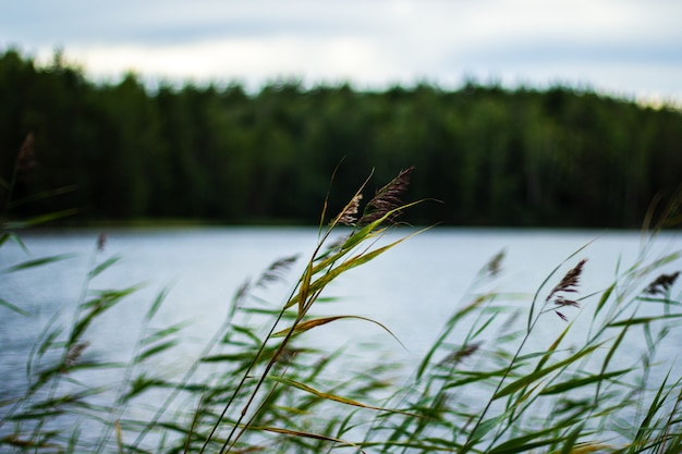Selectieve focus van riet naast de rivier die in de wind zwaait