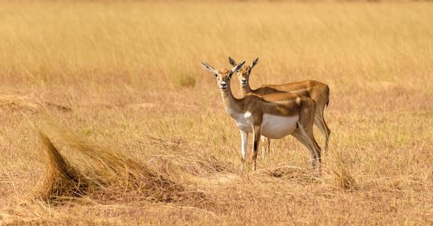 Selectieve focus van wilde blackbucks die grazen op de grassen in het velavadar national park