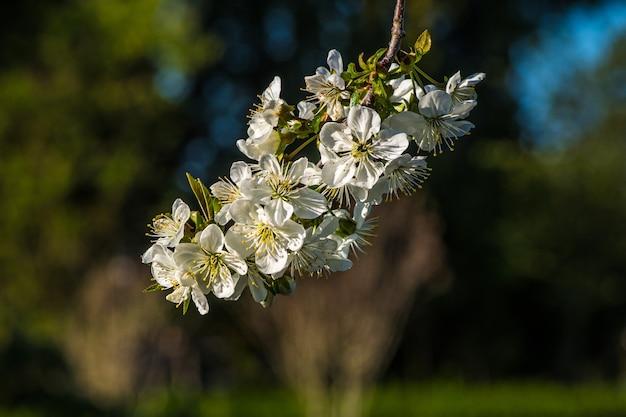Selectieve focus van witte bloesems op een boomtak -