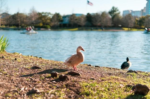 Selectieve focus van witte gans aan de oever van het mcgovern-meer in texas