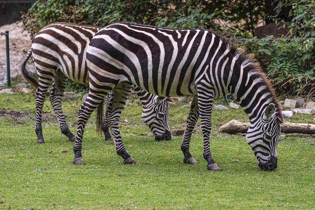 Selectieve focus van zebr in branitz-park in duitsland