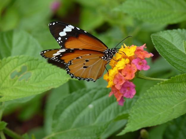 Selectieve focusopname van de vlinder van danaus chrysippus