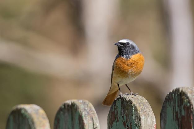 Selectieve focusopname van een gewone ijsvogel die op een houten hek zit