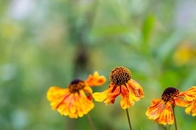 Selectieve focusopname van een gewone nieskruid in de tuin