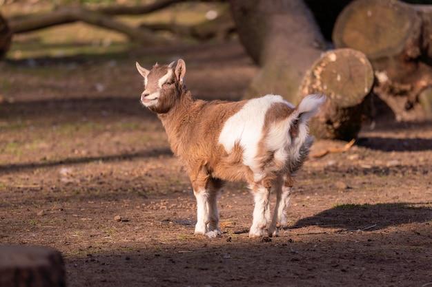 Selectieve focusopname van een kleine geit in het bos