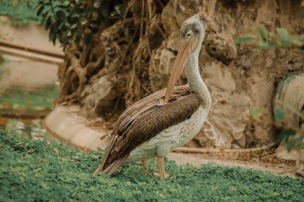 Selectieve focusopname van een pelikaan in een veld