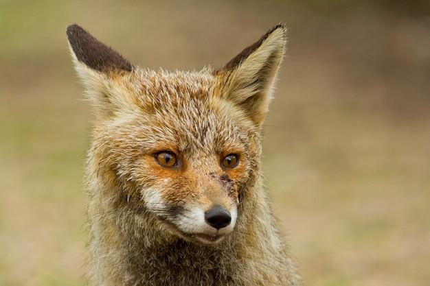 Selectieve focusopname van een prachtige rode vos in een veld dat overdag is vastgelegd