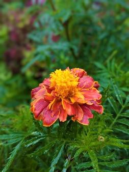 Selectieve focusopname van een rode bloem met gele vlekken op bladeren