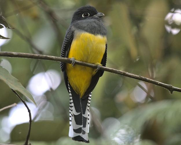 Selectieve focusopname van een trogon-vogel met kousenband die op een takje zit