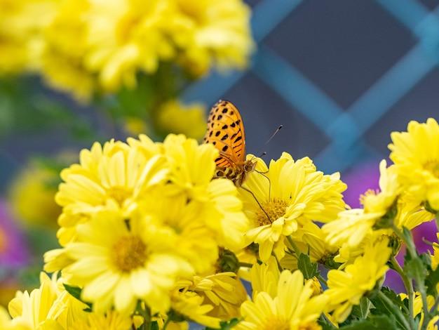 Selectieve focusopname van een tropische parelmoervlinder, argynnis hyperbius op gele bloemen