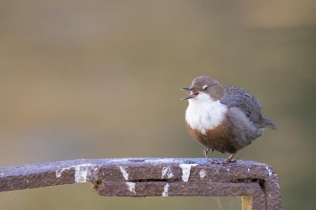 Selectieve focusopname van een witkeelduikervogel die op een metaal zit