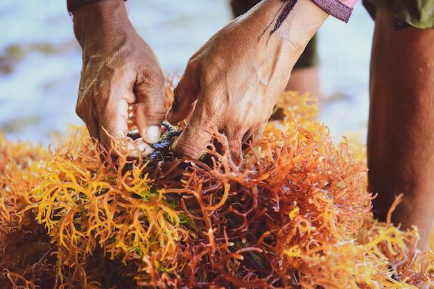 Selectieve nadruk op de handen van de landbouwer die zeewier verzamelen bij zeewierlandbouwbedrijf in nusa penida, indonesië