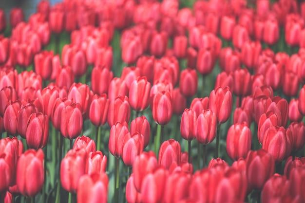 Selectieve nadruk op mooie rode tulpen bij keukenhof-tuin van nederland