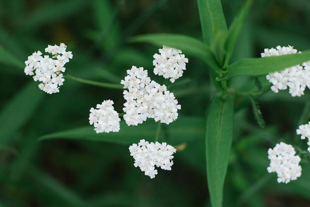 Selectieve nadruk op witte duizendbladbloemen in de zomer in het tuinclose-up