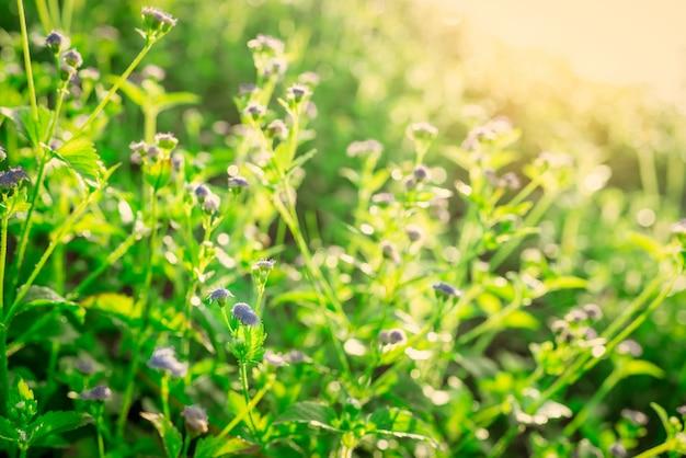 Selectieve nadruk van purpere grasbloem in de tuin met ochtendzonlicht in lentetijd.