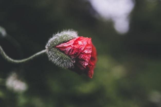 Selectieve nadrukfotografie van rode bloemblaadjesbloem