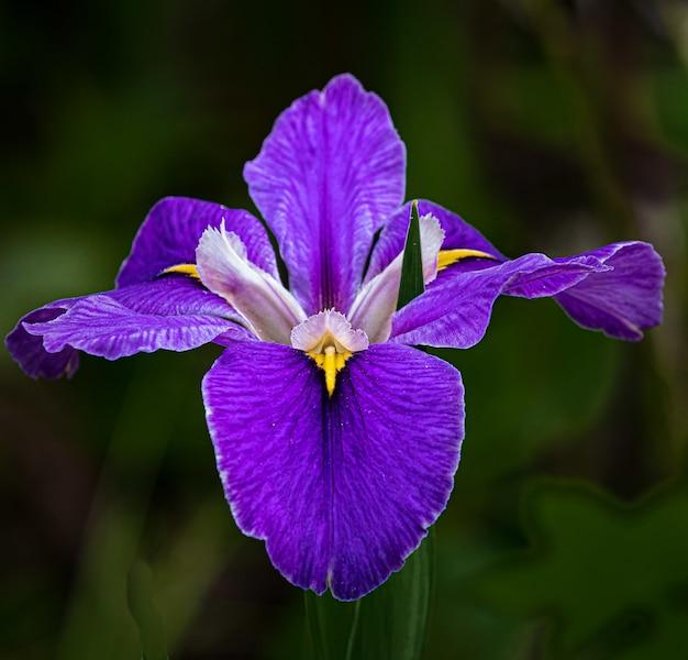 Selectieve opname van een paarse orris-bloem onder het licht