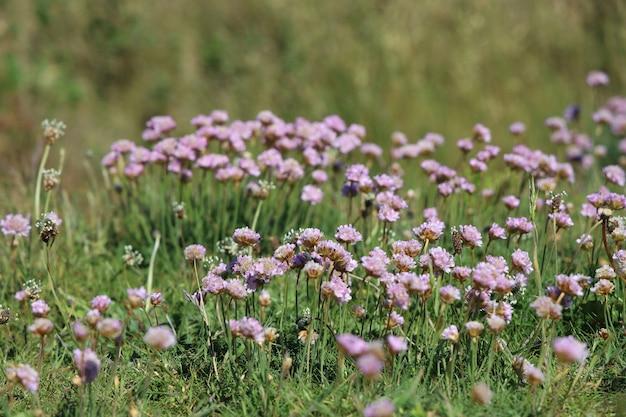 Selectieve opname van roze zuinigheidsbloemen in een veld onder het zonlicht