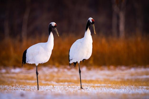 Selectieve opname van twee roodgekroonde kraanvogels in een sneeuwveld in kushiro, hokkaido