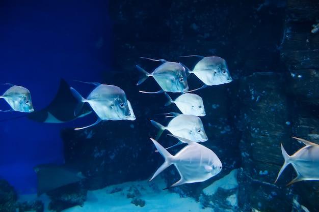 Selena vomer vissen zwemmen onder water in een aquarium