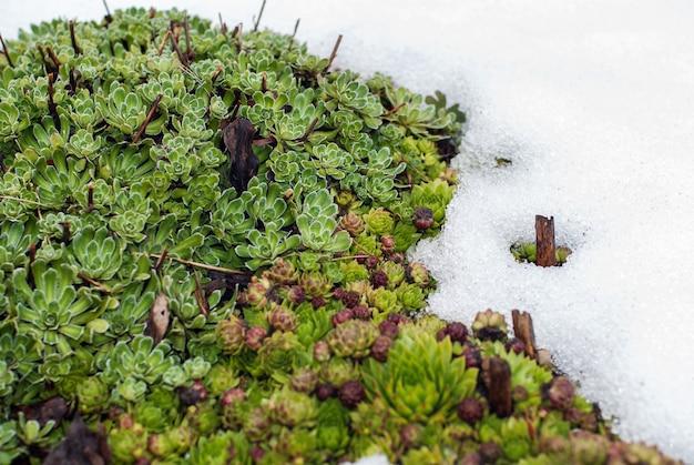 Sempervivum tectorum en saxifraga paniculata planten in smeltende sneeuw in het voorjaar