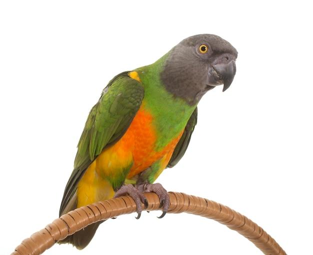 Senegal papegaai geïsoleerd