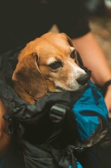 Senior beagle hond rusten in uitgeput reisrugzak.