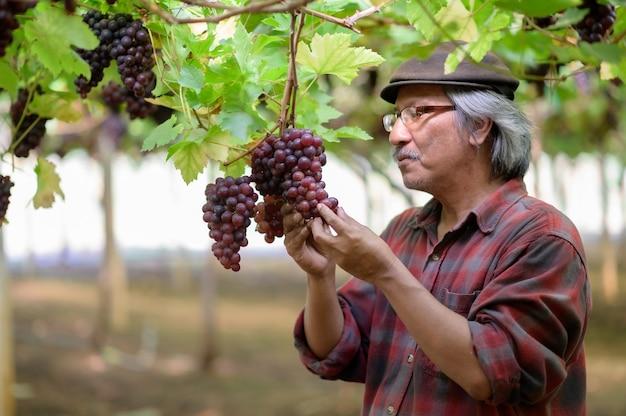 Senior boeren handen met vers geoogste zwarte of blauwe druiven. oude man boer handen druiven plukken en glimlach gelukkig.