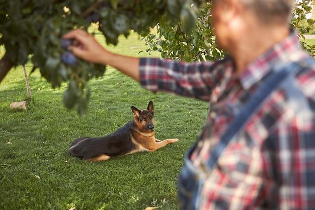 Senior die van zijn pensioen geniet terwijl hij voor zijn boomgaard zorgt en voor zijn hond zorgt