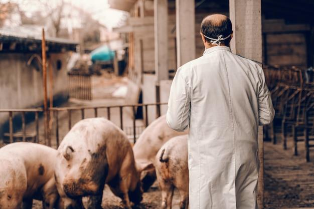 Senior dierenarts in beschermende uniform staande in kooi met gedraaide ruggen en controle op varkens.