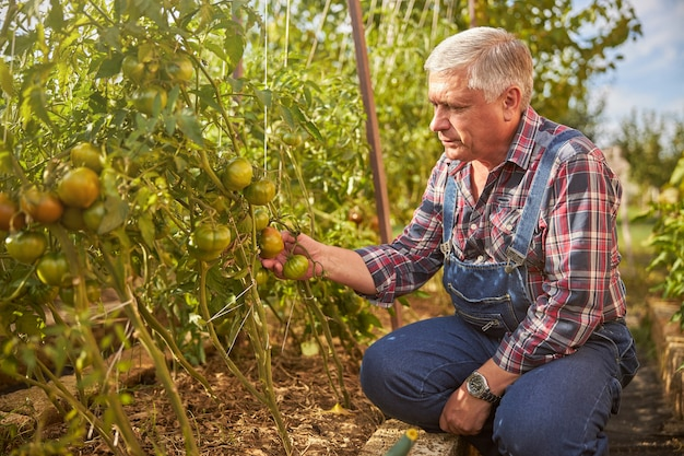 Senior kijkt naar een tomatenplant op een tomatenbed in zijn tuin