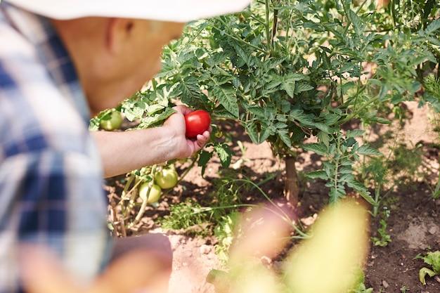 Senior man aan het werk in het veld met groenten