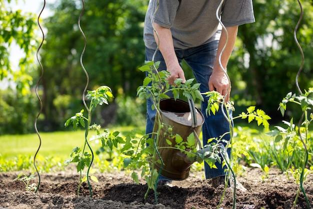Senior man de tomatenplanten water geven in zijn enorme tuin, tuinieren concept
