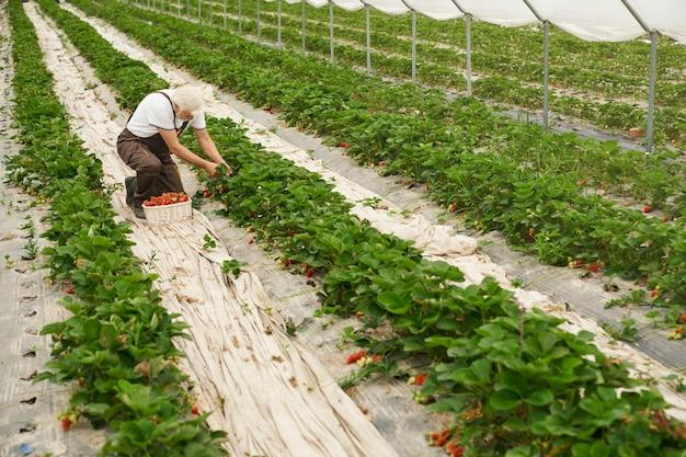 Senior man die aardbeien uit de tuin verzamelt