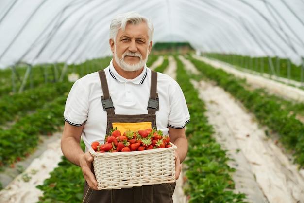 Senior man met mandje aardbeien in kas