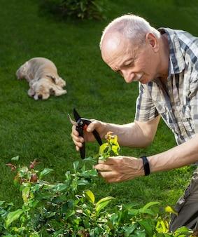 Senior man met snoeischaar takken van struik in de tuin afsnijden