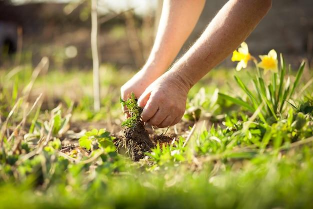 Senior man trekken wat onkruid uit zijn enorme tuin tijdens de lente, tuin opruimen na de winter