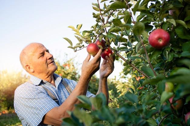 Senior man werknemer oppakken van appels in fruitboomgaard