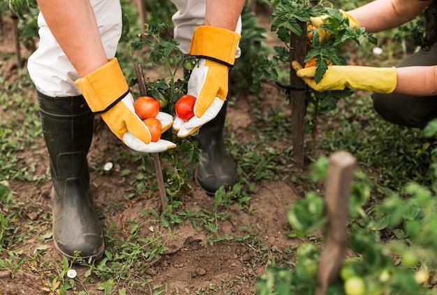 Senior paar oogsten tomaten