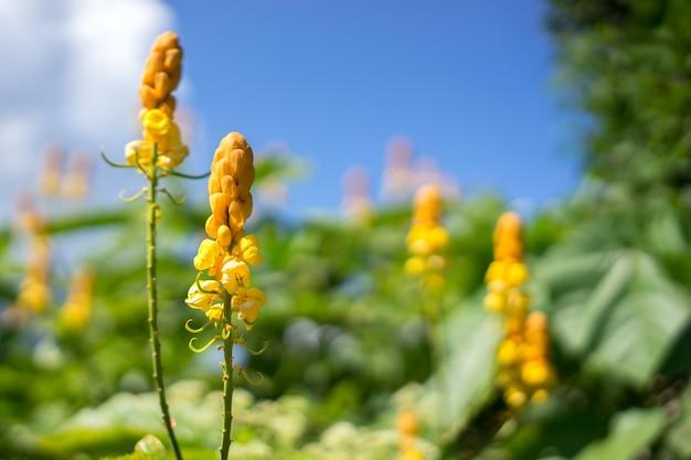 Senna alata bloem wordt gebruikt als een sierplant en medicinale plant vanwege zijn laxativ