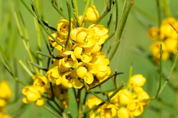 Senna artemisioides sub filifolia.