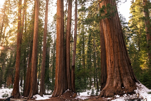 Sequoia's in sequoia national park, californië, verenigde staten.